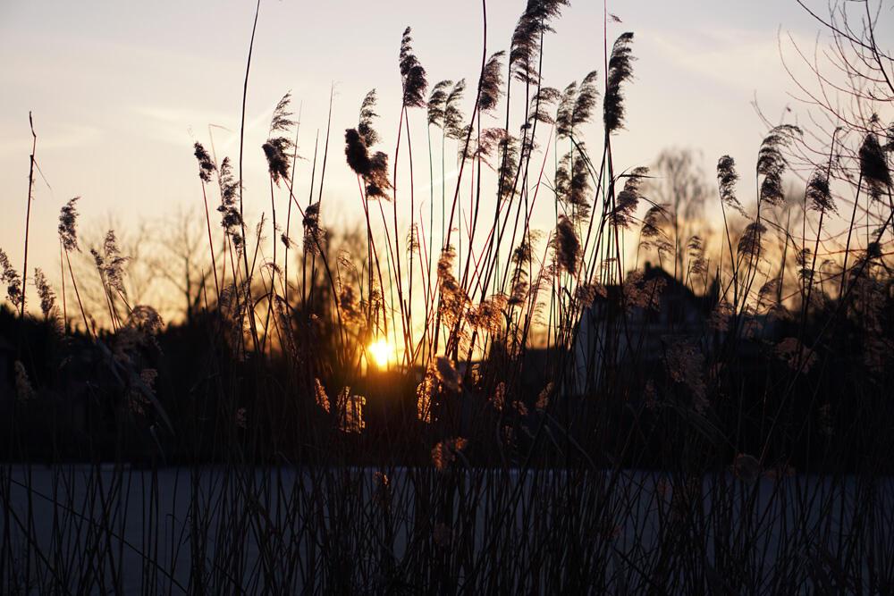 Werder an der Havel Schilf
