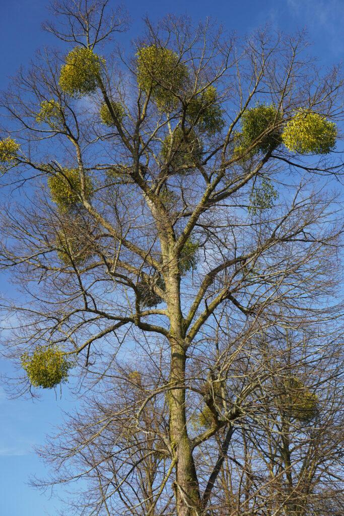 Baum Misteln blauer Himmel Frühling